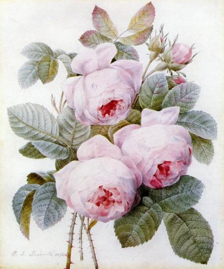 The Botanical Prints of Pierre-Joseph Redouté (1759-1840) « Jane ...