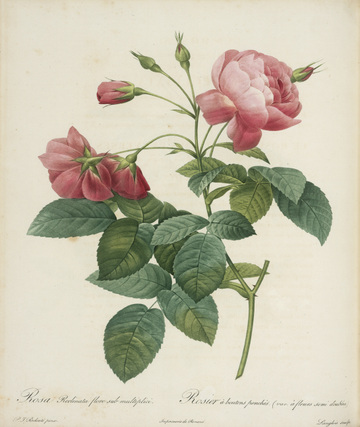 Rosa gallica_maheka from Redoute's Les Roses 1817-1824 Huntington Library