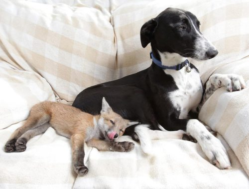 A lurcher adopts a fox cub, the opposite of a kill. Jack and Copper are famous in the U.K. Image @Animal Tourism.com