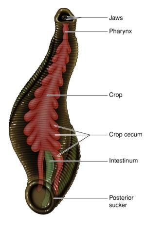 Medicinal leeches | Jane Austen\'s World