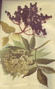 Elder berries and elder flowers. Public domain image