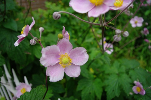 Chawton dog rose. Chawton Cottage Image@Tony Grant