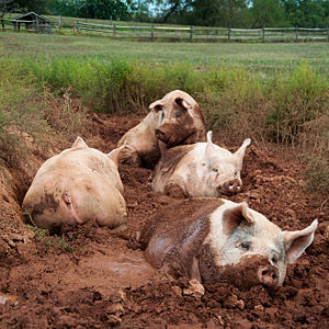 Yorkshire pigs wallow in mud at the poplar spring animal sanctuary in Poolesville, Maryland/ Photo credit: Wikipedia.
