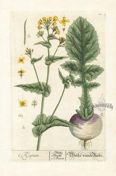 Turnip_Elizabeth Blackwell