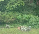 Cody's grave (right) covered with mock orange blossom. Barney's grave (my other dog) is to the left.