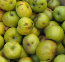 The endangered newton pippin apple.