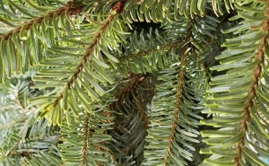 winter spruce branches-vjs