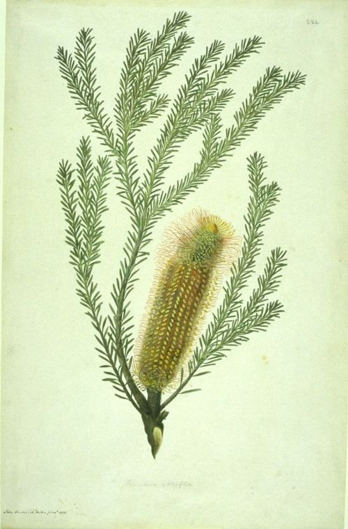 Image of Banksia ericifolia, watercolour from Bank's Florilegium 1773. John Frederick Miller based on drawing by Sydney Parkinson, creative commons