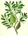 Banksia_integrifolia_watercolour_from_Banks'_Florilegium_(cropped)-By Sydney Parkinson and possibly another artist -original image Natural History Museum, London.cc