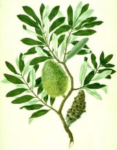 Color Banksia integrifolia watercolour from Banks' Florilegium (cropped) by Sydney Parkinson and possibly another artist, original image, Natural History Museum, London. Creative Commons