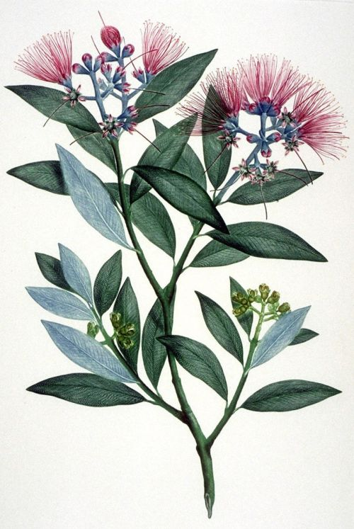 Colored illustration of Metrosideros excelsa, Tolaga Bay, NZ, 1768-1771, illustrated by Gabirel Smith after a SydneyParkinson drawing. Public domain image, Wikimedia commons